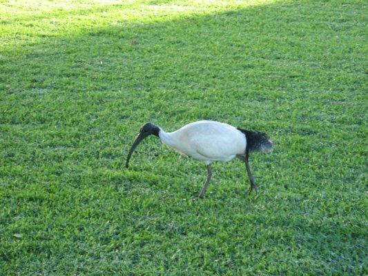 Un ibis nei Royal Botanic Gardens di Sydney