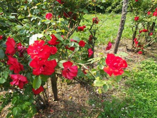 Rose nel giardino dell'agriturismo La Subida a Cormons