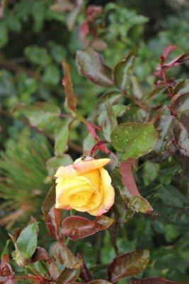 La Rosa di San Marino
