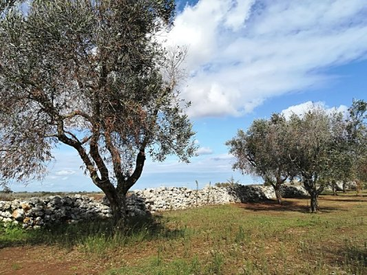 Ulivi e muretti a secco, paesaggio tipico del Salento