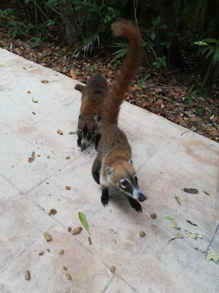 Messico Yucatan Coati