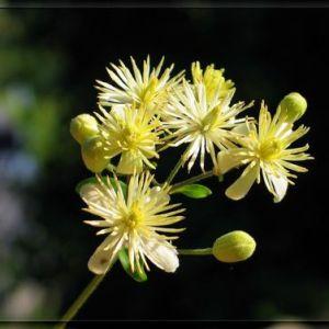 Acacia - Tilleul