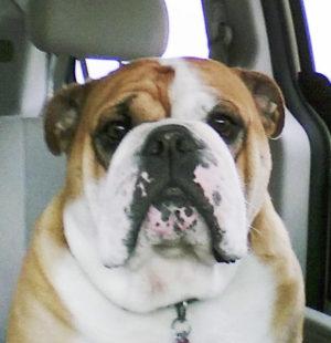 Bossman - English Bulldog