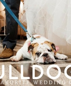 Our Favorite Kind of Wedding Guest English Bulldog