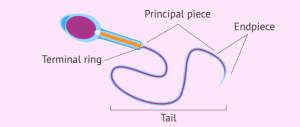 What's the Function of a Sperm Cell?  Definition & Structure