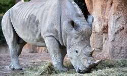 Al parco Cornelle arriva Pancho, uno splendido rinoceronte bianco