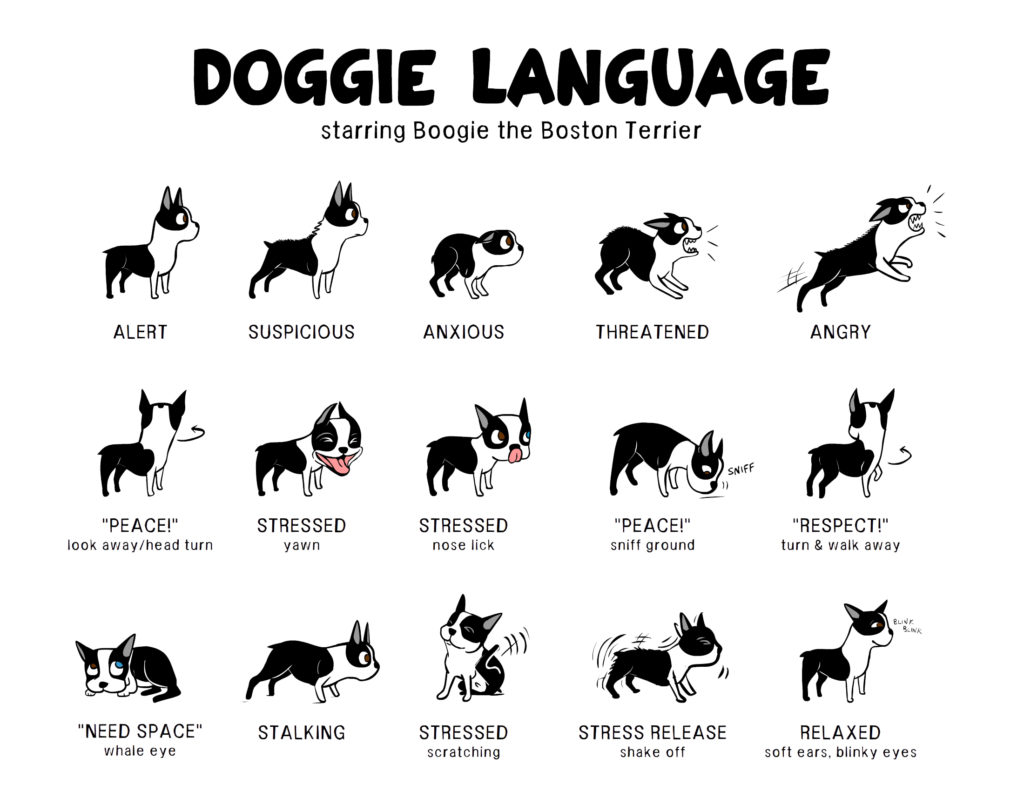 Doggie Language Starring Boogie The Boston Terrier By Lili