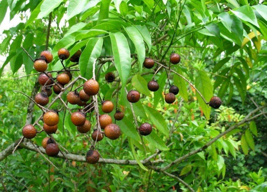 El árbol que produce jabón