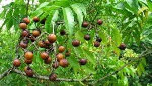 El árbol que produce jabón natural y antialérgico