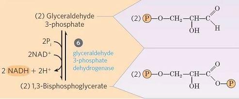 glucólisis Fosforilación oxidativa de gliceraldehído 3-fosfato