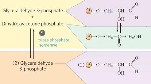 Isomerización de fosfato de dihidroxiacetona - glucólisis