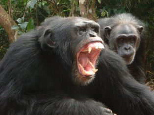 Image result for male ape attacking