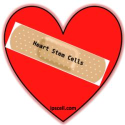 heart stem cells, stem cells mend broken hearts?