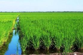 La sequía ha puesto una zancadilla a los planes cubanos de expandir el cultivo de arroz en regiones clave como Los Palacios, en la provincia más occidental del país, Pinar del Río.
