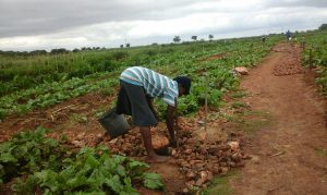 A woman works on a community vegetable garden in Bulawayo. For a while now, small-scale farmers and other community gardeners scattered across Bulawayo have concentrated on producing on-demand horticultural products such as tomatoes, cabbages and onions. Credit: Ignatius Banda/IPS