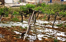 Vineyard in  Beit Ummar village, flooded with sewage from nearby Israeli settlement.   / Credit:Palestine Solidarity Project.