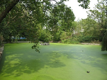 """Brookmill Park: Lake With Algal Bloom"" by Stephen Craven. Licensed under CC BY-SA 2.0."