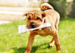 https://depositphotos.com/6113467/stock-photo-shar-pei-dog-with-newspapers.html
