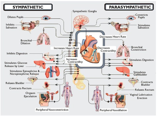Burnout and the Parasympathetic Nervous System