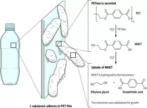 enzimă care mănâncă plastic