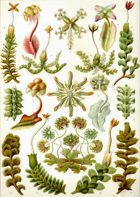 428px-Haeckel_Hepaticae