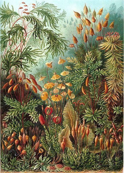 429px-Haeckel_Muscinae