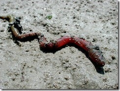 The lugworm (Arenicola marina)