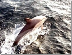 Short-beaked common dolphins are frequently encountered on whale watching trips