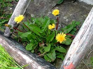 The dandelion's ability to grow practically anywhere helps it colonise the most unlikely places.