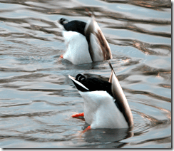 Male mallards engage in a bit of synchronised swimming