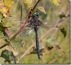Ireland's rarest dragonfly: the Northern Emerald (Somatochlora arctica)
