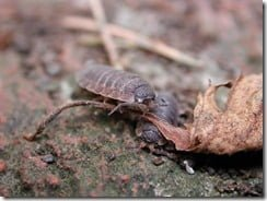 Common woodlice (Porcellio scaber) are terrestrial crustaceans more closely related to crabs and lobsters than to their garden neighbours.