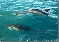 Common Dolphins (Delphinus delphis) visit Cork City, Ireland