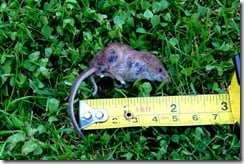 A dead pygmy shrew next to a tape measure gives a sense of scale