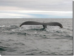Humpback whale off West Cork, Ireland