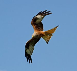Irish Red Kite confirmed poisoned