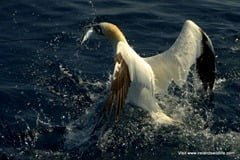 Northern Gannet makes off with its prize