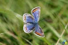 common-blue-female-l-lysaght