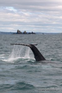 Humpback whale off the coast of West Cork
