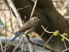 Female red-flanked bluetail, West Cork, Ireland