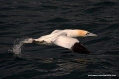 Gannet taking flight