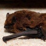 Batty about Irish bats!