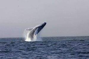 Humpback Whale from the RTE / Crossing The Lines production, Wild Journeys