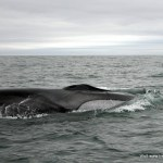 Fin whale surfacing off the West Cork coast