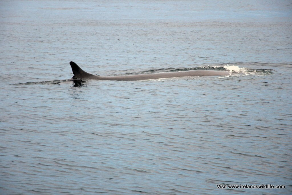 Surfacing fin whale off the coast of West Cork