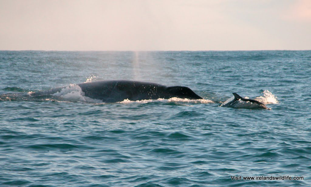 Another shot of the common dolphin bow-riding a fin whale
