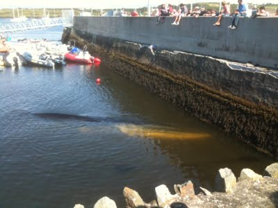 Live stranded fin whale at Baltimore Harbour, Co. Cork