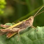 Field Grasshopper (Brian Eversham, National Biodiversity Data Centre)