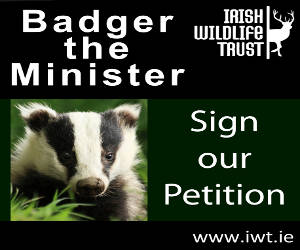 Help the Irish Wildlife Trust end Iris Badger Culling NOW!