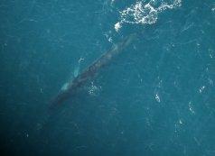Fin whale photographed off the Irish coast